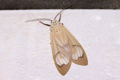 moth beige insect