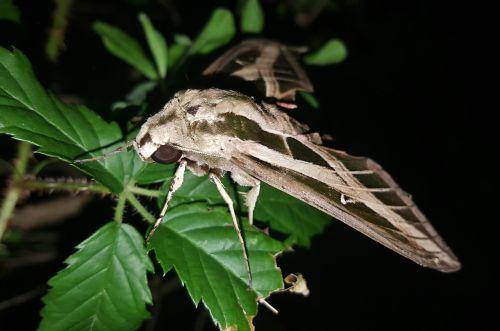 moth sphinx moth banded sphinx moth