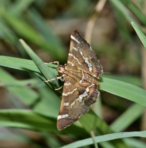 moth hawaiian beet webworm moth insect