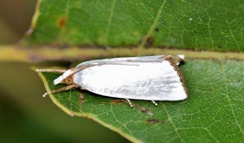 moth urola moth snowy urola moth