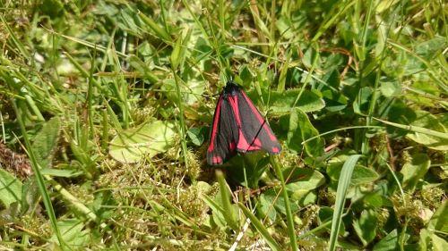moth cinnabar moth cinnabar