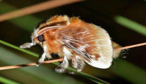 moth flannel moth southern flannel moth