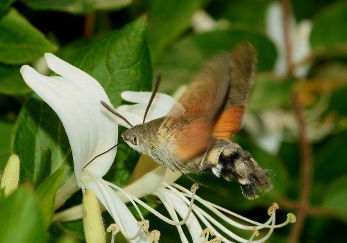moth hummingbird hawk-moth butterfly