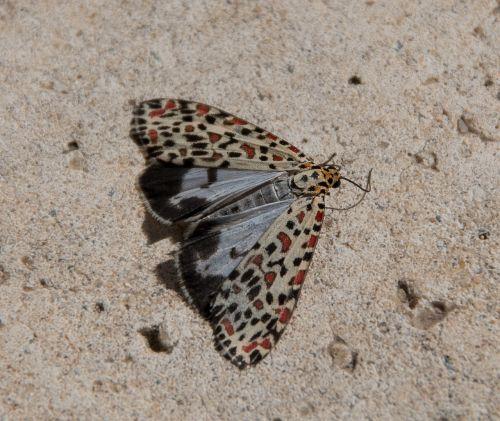 moth heliotrope moth utetheisa pulchelloides