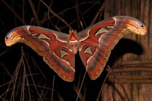 moth giant moth atlas