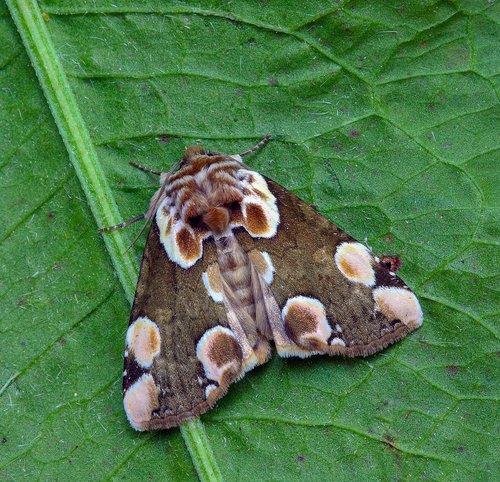 moth  peach-blossom  pattern