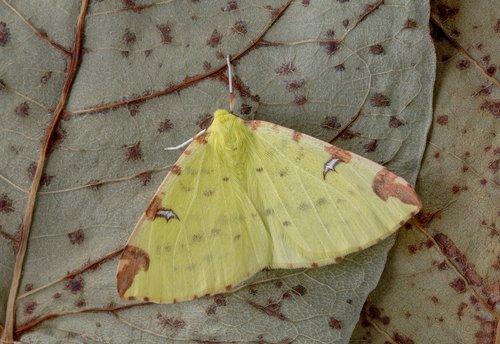 moth  brimstone-moth  wings