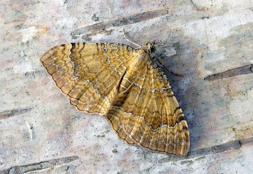 moth  yellow-shell  wings