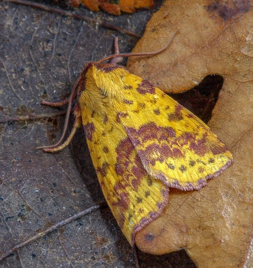 moth  pink-barred-sallow  insect