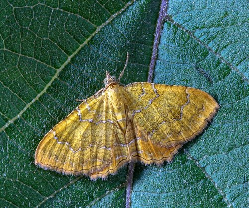 moth  yellow-shell  insect