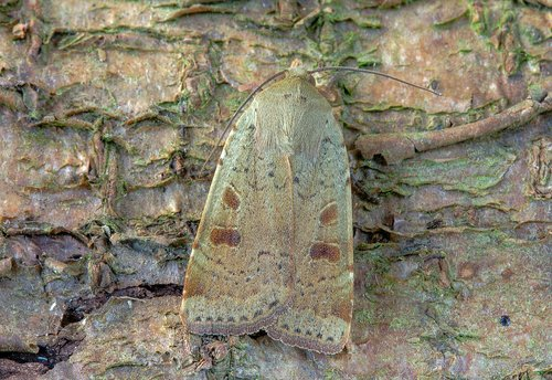 moth  lesser-yellow-underwing  wings