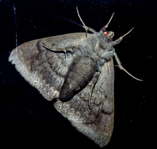 moth large insect