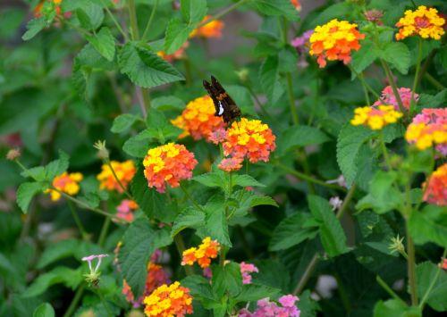 moth & nbsp, drugelis, drugelis, vabzdys, laukinė gamta, grožis, gamta, gėlė, spalvinga, gyvas, sodas, drugelis drugelis