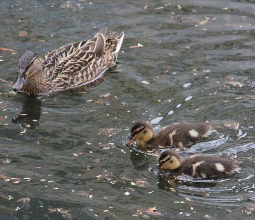 mother and children mallard pond