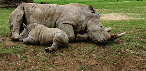 mother and son rhino baby rhino animal