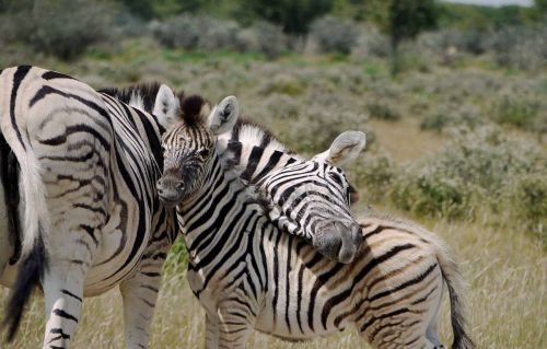 motherly love baby zebra