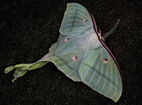 moths  mr luna  green
