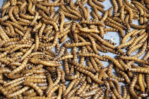 mouční  worms  food