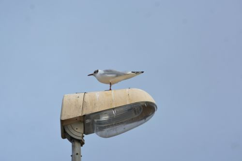 Seagull On A Lamppost