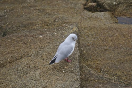Seagull Laughing On The Ground