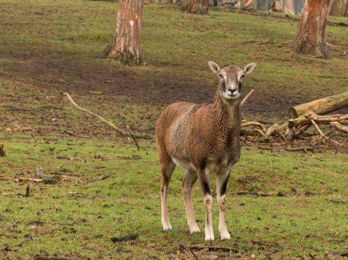 mouflon animal wildlife park