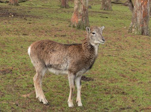 mouflon animal winter fur