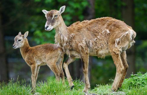 mouflon calf mammal