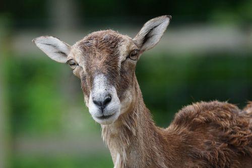 mouflon female mammal