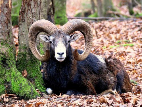 mouflon male horns