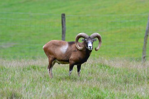 mouflon horns wildlife park