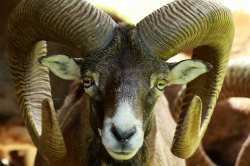 mouflon wildlife park wild animal