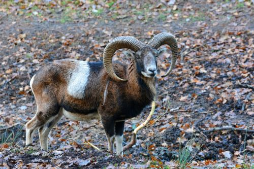 mouflon wildlife park nature