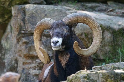 mouflon climber mountains
