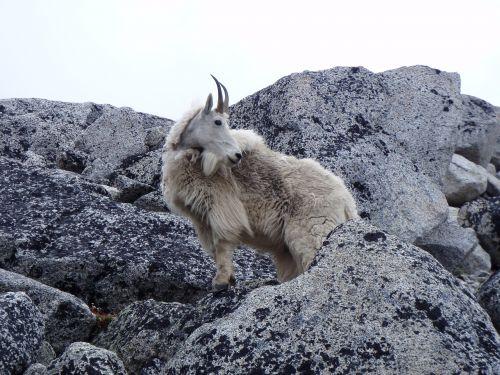 mountain goat cascades