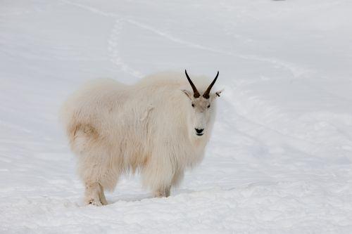 mountain goat yukon