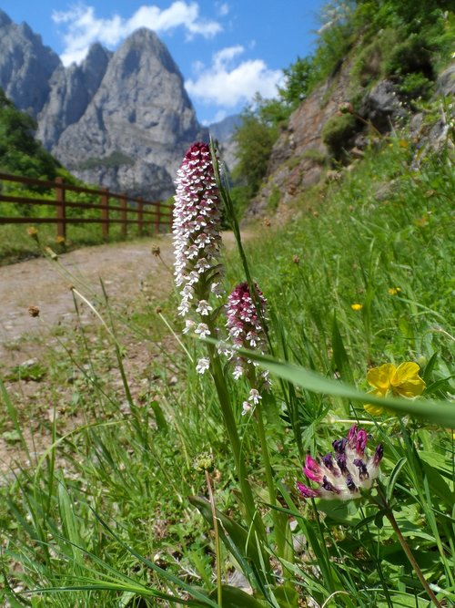 mountain  flower  orchid