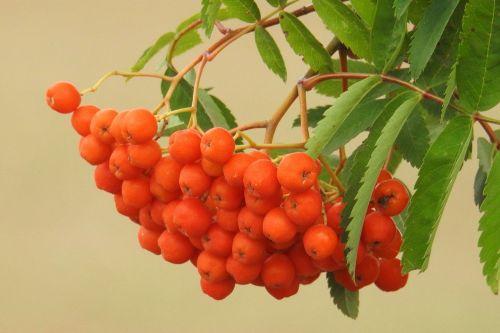 kalnų pelenai,vaisiai,uogos,pelenai,gamta,oranžinė,vasara