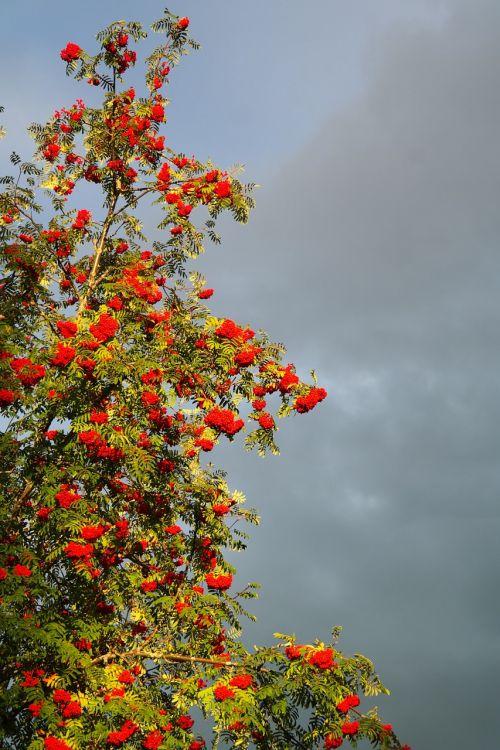 mountain ash ash berries