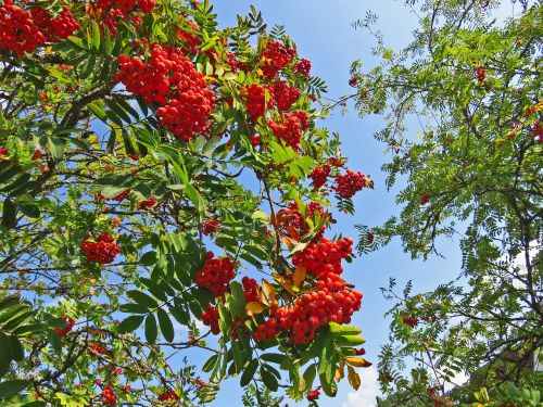 mountain ash tree berries