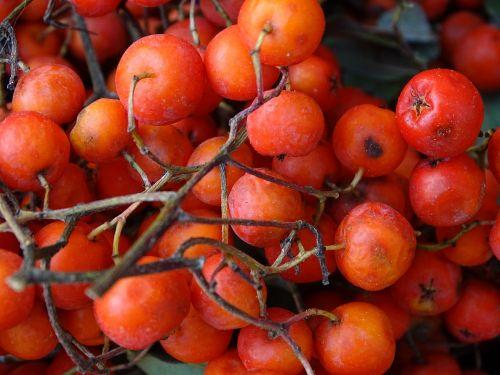 mountain ash rowanberries orange berry
