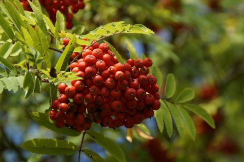 mountain ash berries rowanberries