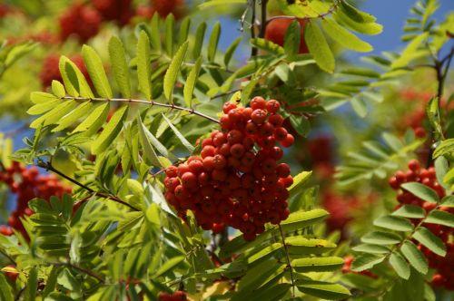 mountain ash berries rowan