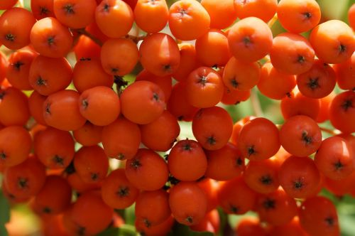 mountain ash red berries