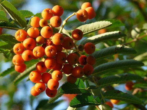 mountain ash berry fruits