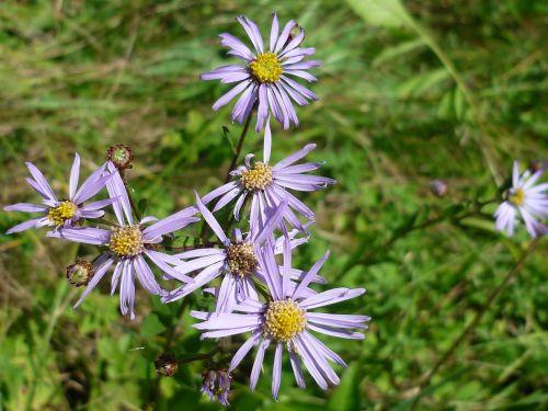 mountain aster wild plant light blue