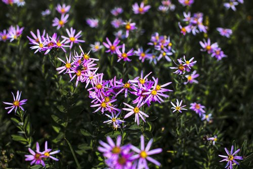 mountain asters  mountain  country