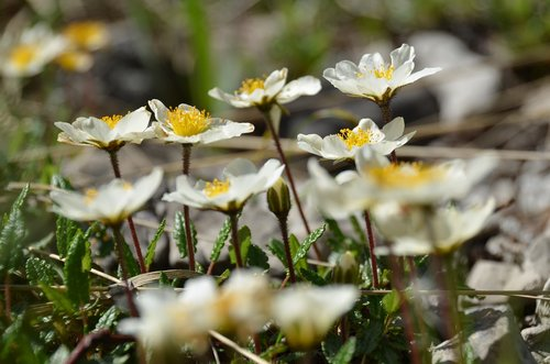 mountain avens  alpine flower  alpine plant