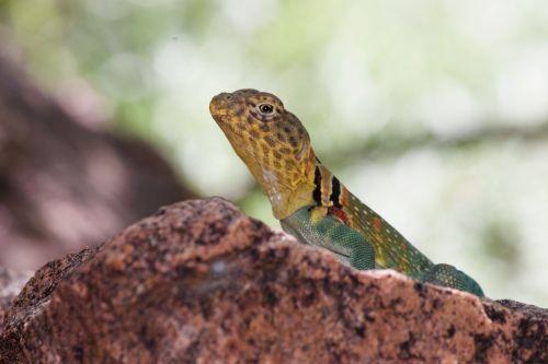 mountain boomer lizard common collared lizard oklahoma state reptile