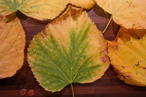 mountain elm elm leaves size comparison