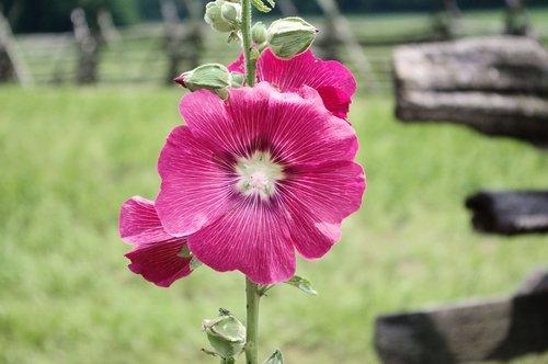 mountain farm hollyhock  mallow  flower